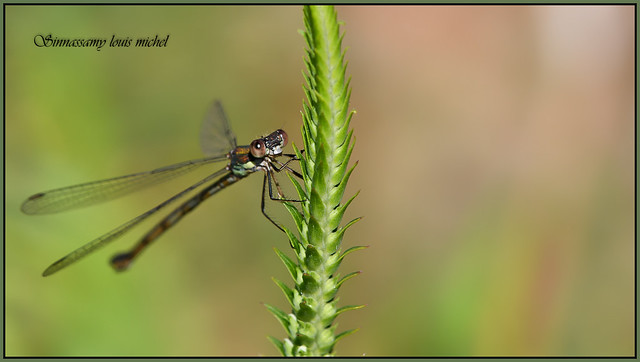 Willow emerald damselfly Leste, Nikon D500, AF-S DX Micro Nikkor 85mm f/3.5G ED VR