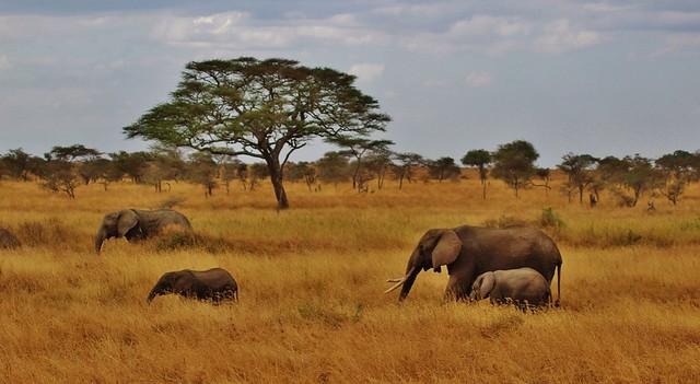 safari tanzania słoń