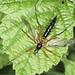 Cranefly - Ctenophora pectinicornis