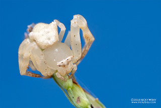 Crab spider (Thomisus citrinellus) - DSC_2648