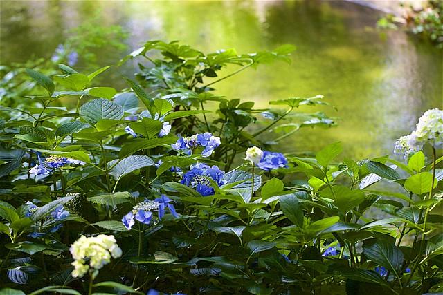 Hydrangea macrophylla f.normalis