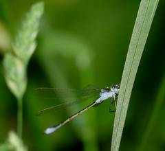 Common Spreadwing (Lestes sponsa) male - Photo of Saint-André-de-Briouze