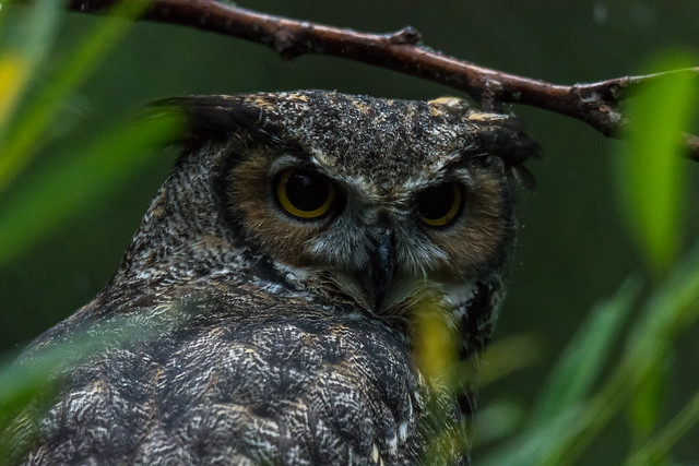 Great Horned owl in Montreal's Ecomuseum Zoo (Grand-duc d'Amérique)
