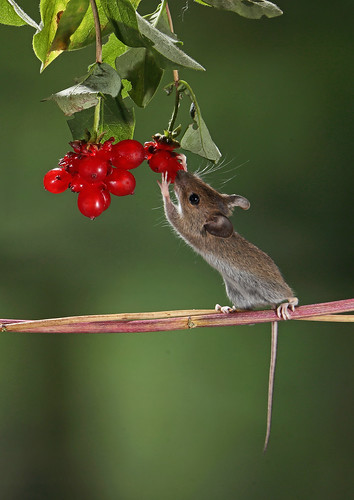 Juvenile Wood mouse collecting honeysuckle berries.