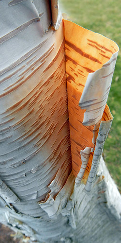 The peeling bark of a Paper Birch