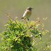 Whinchat Harthrope Valley 7-6-18