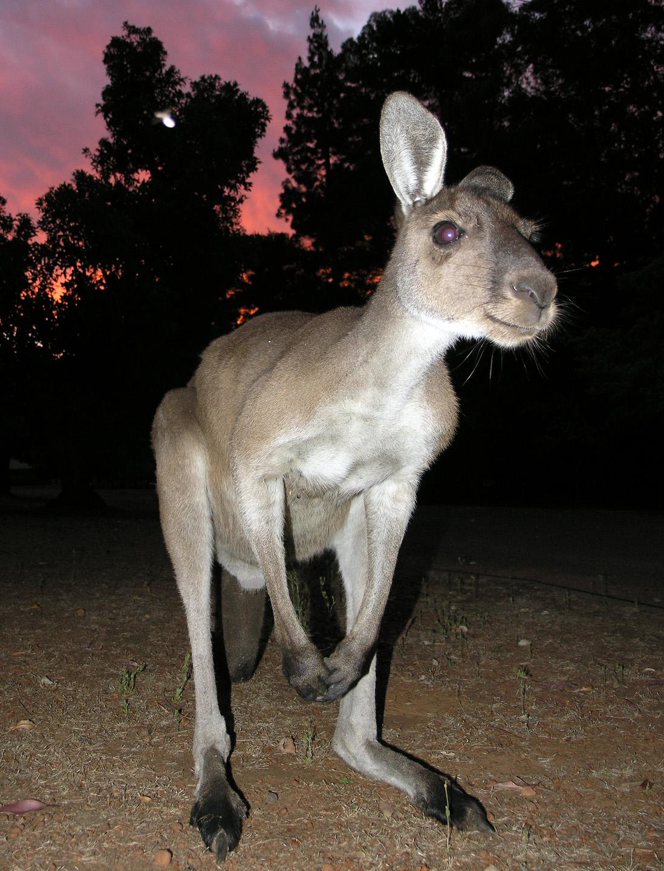 Wild western grey kangaroo (Macropus fuliginosus) at sunset. Photo taken at Donnelly Mills, Western Australia, on January 2, 2006.