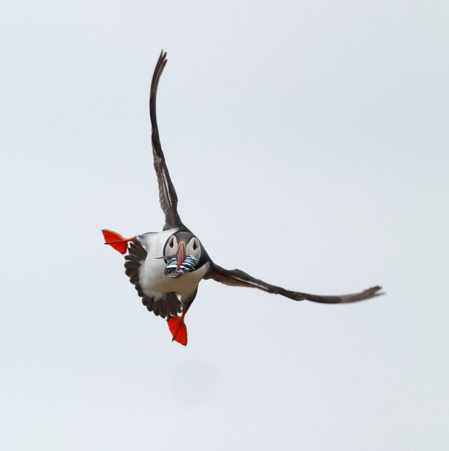 Atlantic Puffin, Canon EOS-1D X, Canon EF 500mm f/4L IS II USM