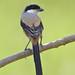 Long-tailed Shrike (Lanius schach) 棕背伯劳