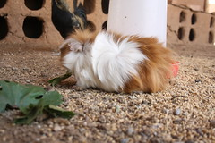 One of the garden's guinea pigs