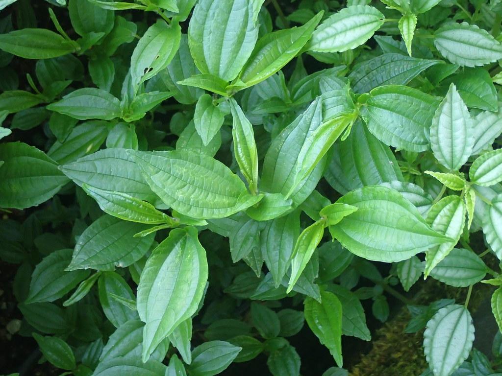 Pilea cf. plataniflora Pelling PB02 518