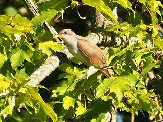 Yellow-billed Cuckoo RRR by Kathy Murphy