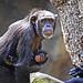 El chimpancé nacido en BIOPARC se llamará COCO