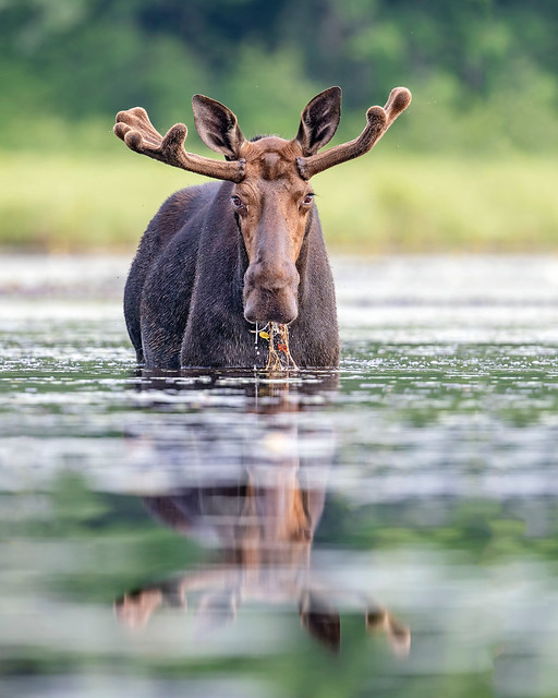 Moose Buffet...