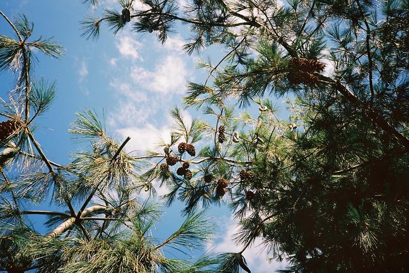 Roundabout pine