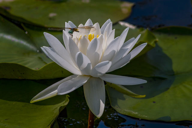 dragonfly on lotus flower