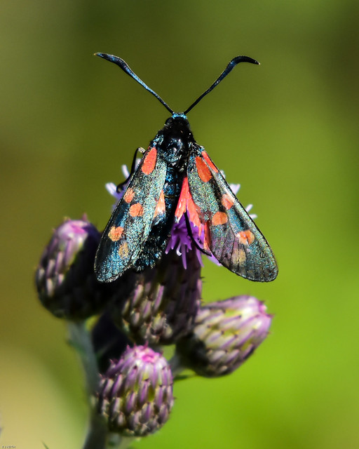 Six Spot Burnet Watchtree Nature Reserve N000019 D210bob DSC_3888