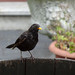 Blackbird, 2018 Jul 12 -- photo 1