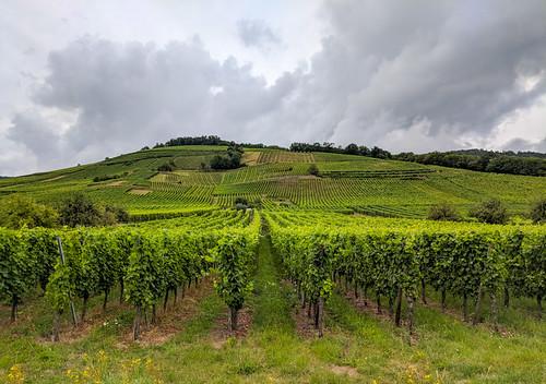 grape vines!