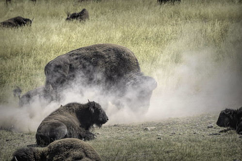 Bison rut kicking dust 1_DSC0559-Edit