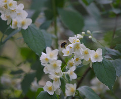 Bumblebee landing on sweet mock-orange blossoms