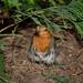 A Skirted Robin .......