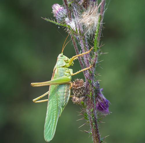 Grünes Heupferd (Tettigonia viridissima)♂