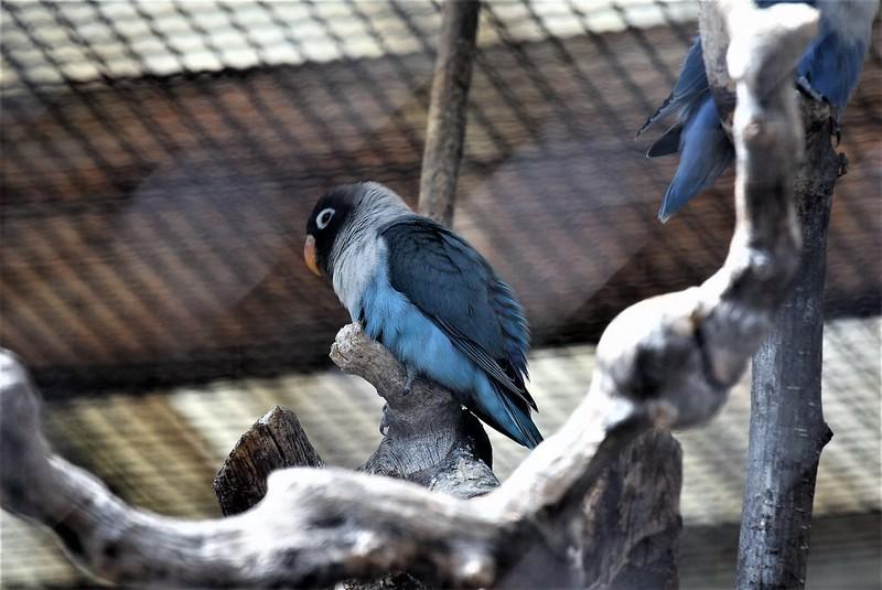 Aviary Birds 10.08 (3)