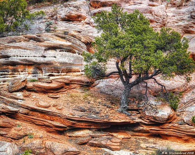 A Tree Survives in the Kanab Utah Sandstone