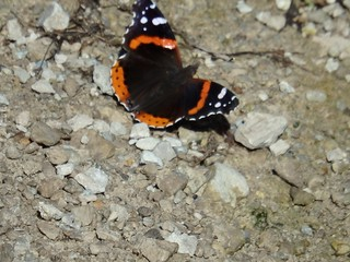 AND Red Admiral by Penny O'Connor