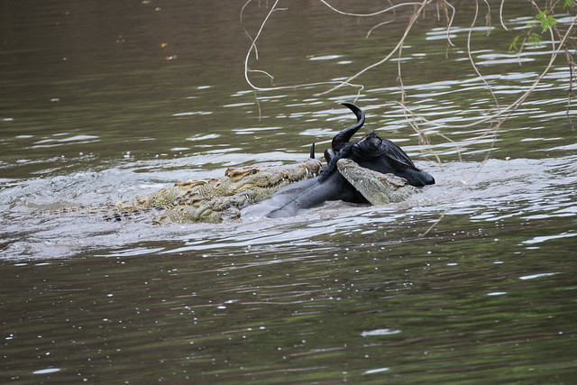 Crocodiles eating wildebeest