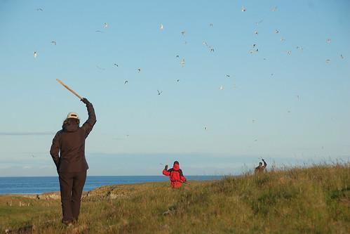 iceland icelandencounters flatey tern terns birds arctictern arcticterns flateyisland