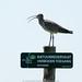 European Curlew (wulp) by robvanderwaal