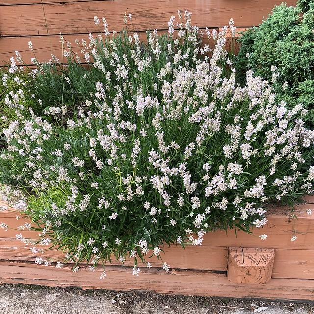 White Lavender