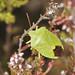Common Green Shieldbug - Palomina prasina
