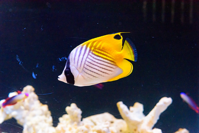 Threadfin butterflyfish Chaetodon auriga, Nikon D750, AF-S Micro Nikkor 60mm f/2.8G ED