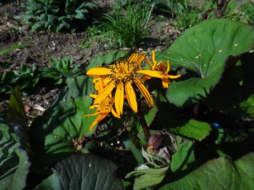 Бузульник зубчатый цветет