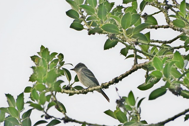 Willow Flycatcher, Snoqualmie Valley, WA 8/15/18