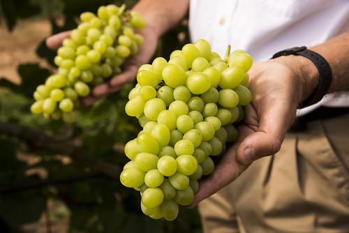 Compassion grape