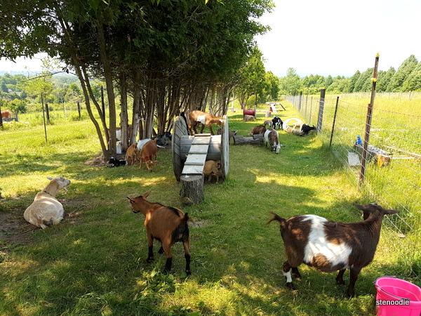 Haute goat yoga playground