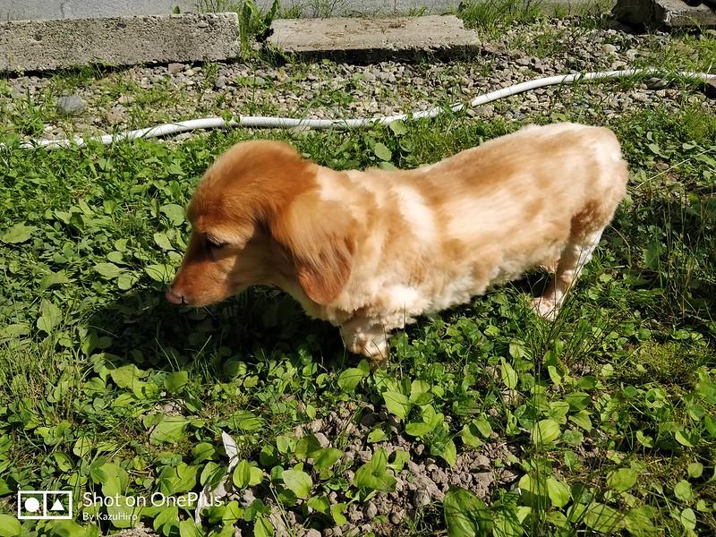 ペットの犬をサマーカット (3)