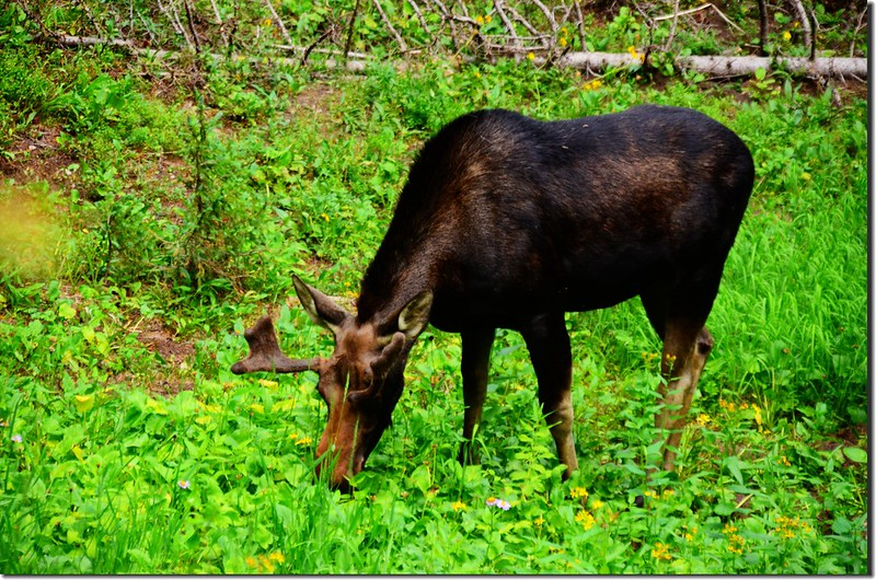 Moose at South Boulder Creek Trail (2)