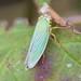Cicadella viridis, 2018-08-22