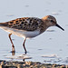 Little Stint (Calidris minuta) at Claire Mare by Rock.Dweller