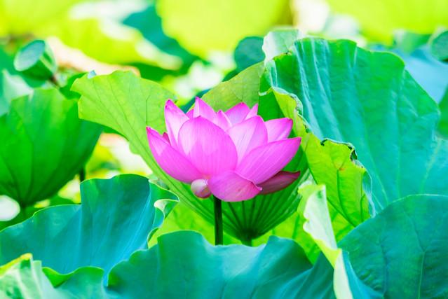 Pink Lotus of Genpei, Nikon D750, Sigma 70-200mm F2.8 EX DG OS HSM