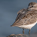 Semipalmated Sandpiper (Calidris pusilla) by ER Post