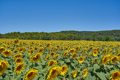 Fields of Sunflowers