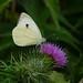 Large White --- Pieris brassicae