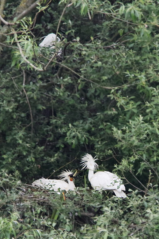 Spoonbill at the nest with chick(s) and Little Egret nest above