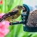 American Goldfinch - Chardonneret jaune by monteregina
